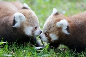 Dublin Zoo - Red Panda Cubs