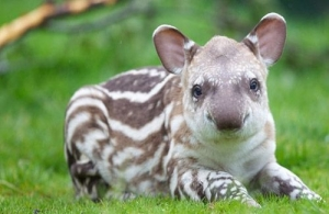 Dublin Zoo - Baby Tapir