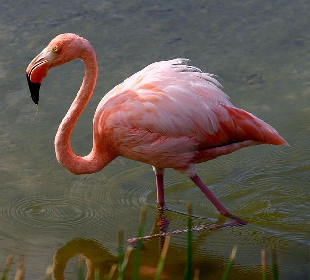 Galapagos Flamingo (Photo credits: Charles J. Sharp)