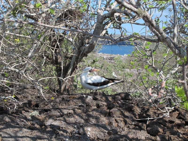 Nazca Booby, Galapagos Islands