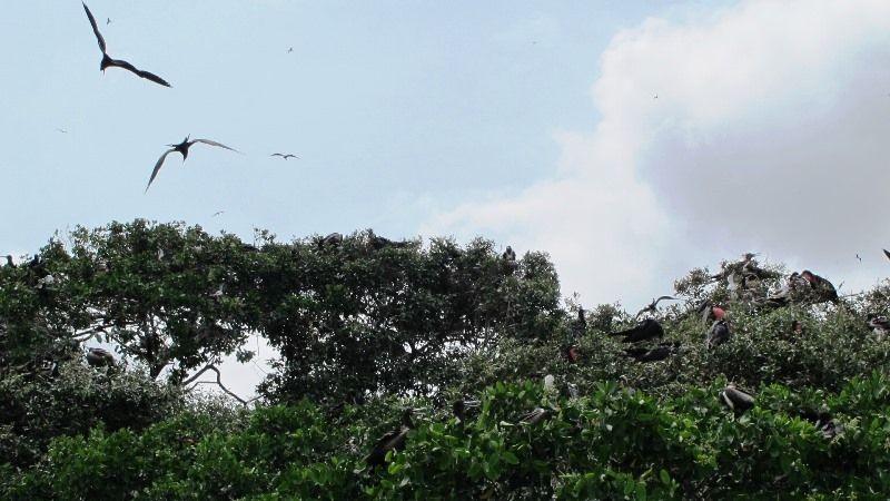 Frigate Birds - Isla Corazón