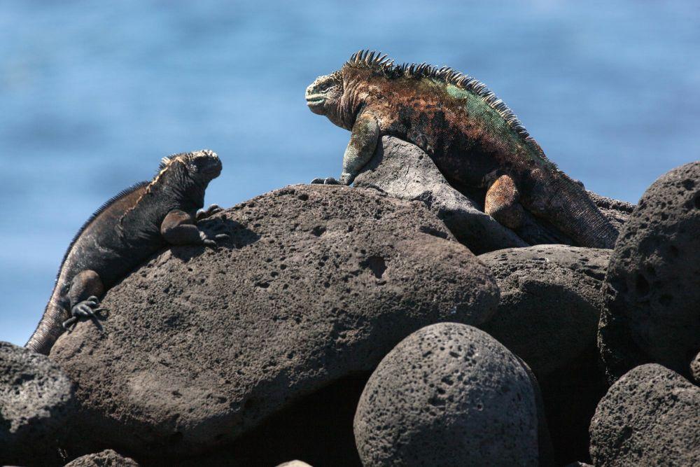 Galapagos Iguanas (photo credits: Ecuador Tourism Ministry)