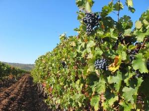 Adegas Ladairo - Mencia Grapes