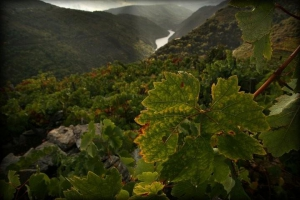 Vineyards on the steep banks of the River Sil!