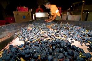 Harvest of Mencia Grapes