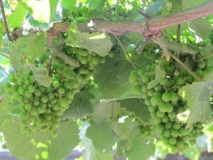 Albariño grapes, Santiago Roma winery