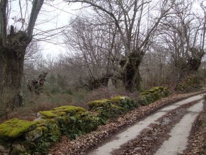 Ancient forest of chestnut trees/country lane