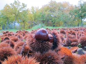 Chestnuts, Lugo