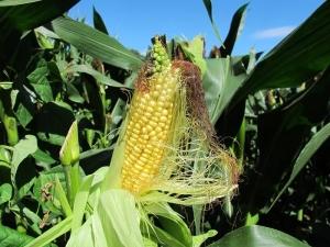Corn in the cob