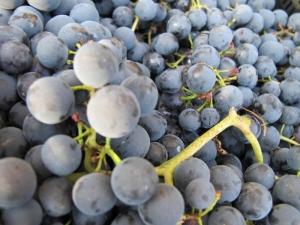 Mencia Grape,Abadía da Cova.