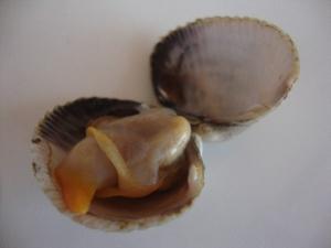 Un berberecho (cockle)