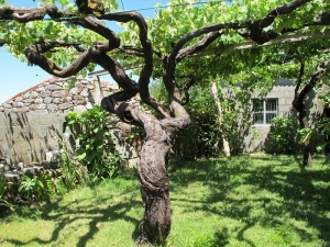 Vine over 177 years old! Cabaleiro Do Val