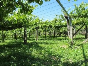 Vineyards in Dena - Meaño