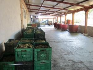 Wine Harvest, Senorio de Sobral Winery,Salceda