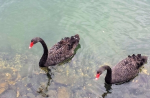 Black Swans on the Nerang River