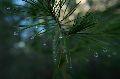 Tannin filled pine needles