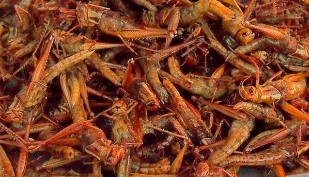 Tak Ga Tan (Grasshoppers)