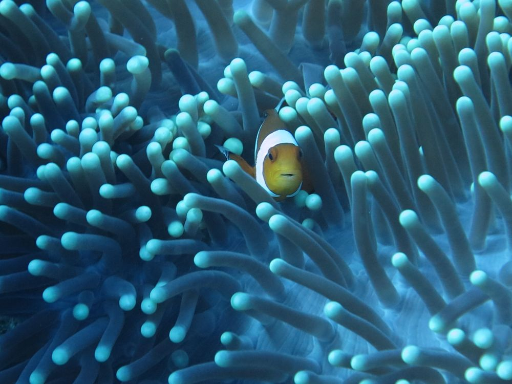 Clown Fish - photo by Sean Chinn