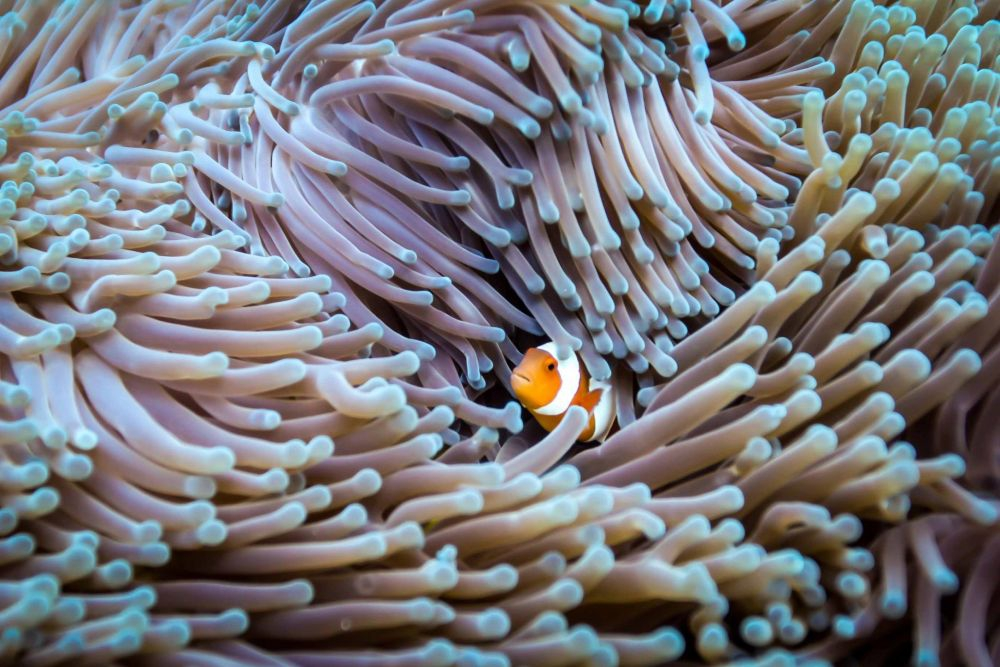 False clown anenome fish - Photo by Steve Woods Underwater photography