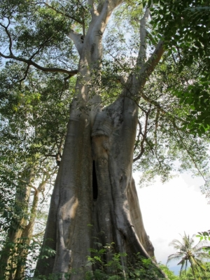 Giant Trees in East Lombok