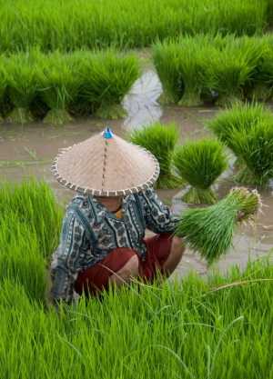 Lady working in the rice fields