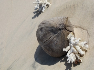 Washed up coconut