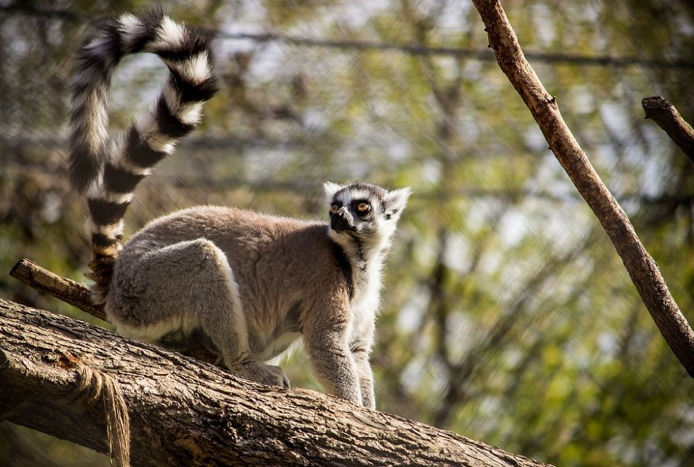 A Lemur in Skopje Zoo (photo by: Marjan Lazarevski)