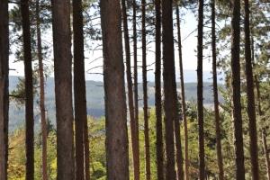 Berovo pinewood
