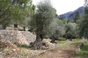 Old olive trees near Fornalutx