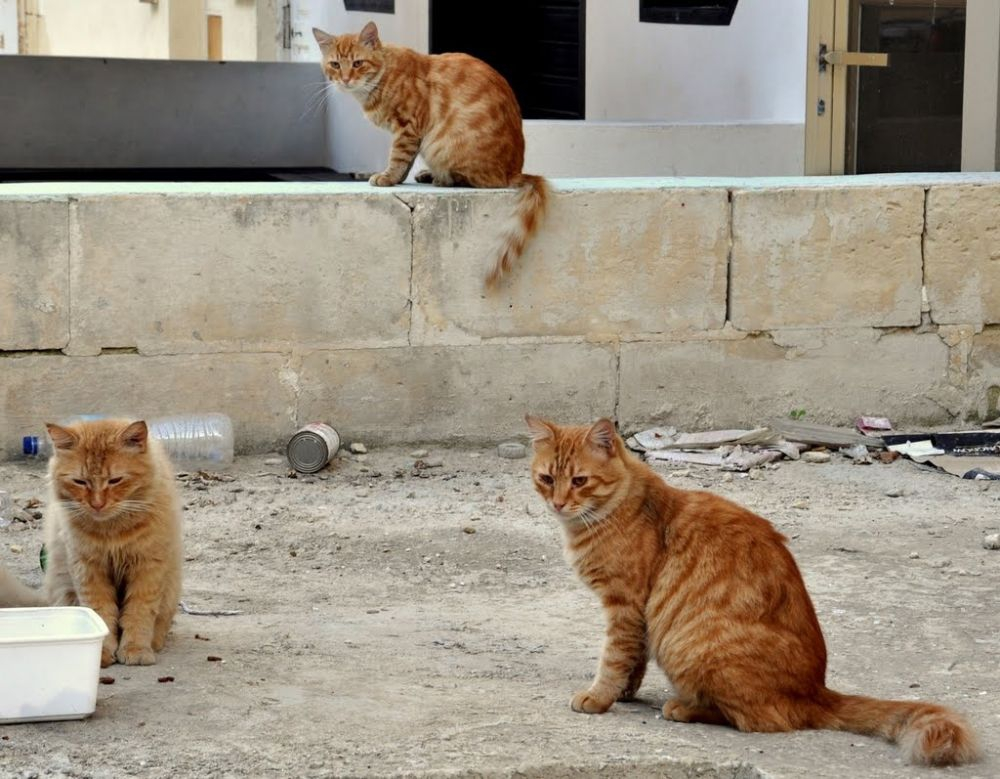 Cats in Malta