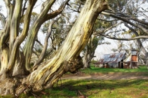 Ghost gums : Snowy Mountains