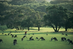 Kangaroos love the fresh grass on the green