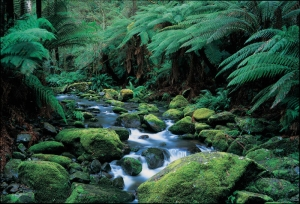 Lush forests in the Dandenong Ranges