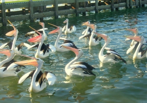 Pelicans looking for a quick meal