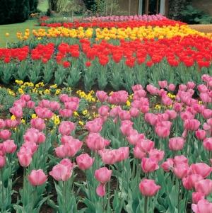 Tesselaars Tulip Farm : Tourism Victoria