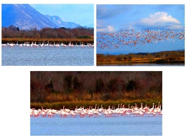 Flamingos Encounter in Ulcinj Salina
