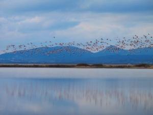 Flamingos Flock in the Saline in Ulcinj