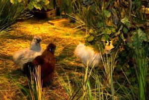 Chickens wander