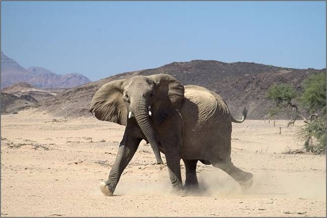 A desert elephant