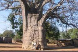 Ombulantu Giant Baobabs