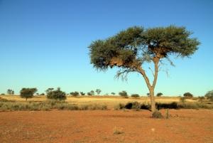 Auob Acacia Tree