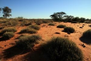 Auob Dune Vegetation