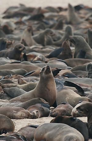 Cape Fur Seal Colony