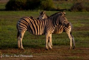 Cuddling Zebra