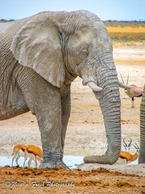 Elephant in Etosha Park