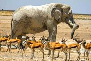 Elephant mingling with Springbok