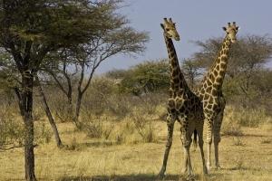 Girafees at Otjibamba