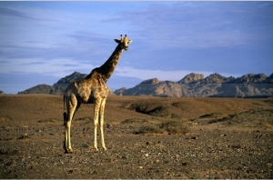 Giraffe in Damaraland