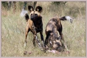 Harnas wild dogs