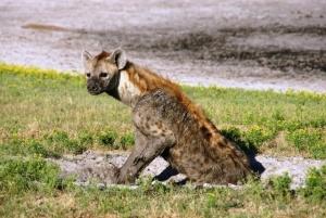 Hyeena, Mondjila Safaris